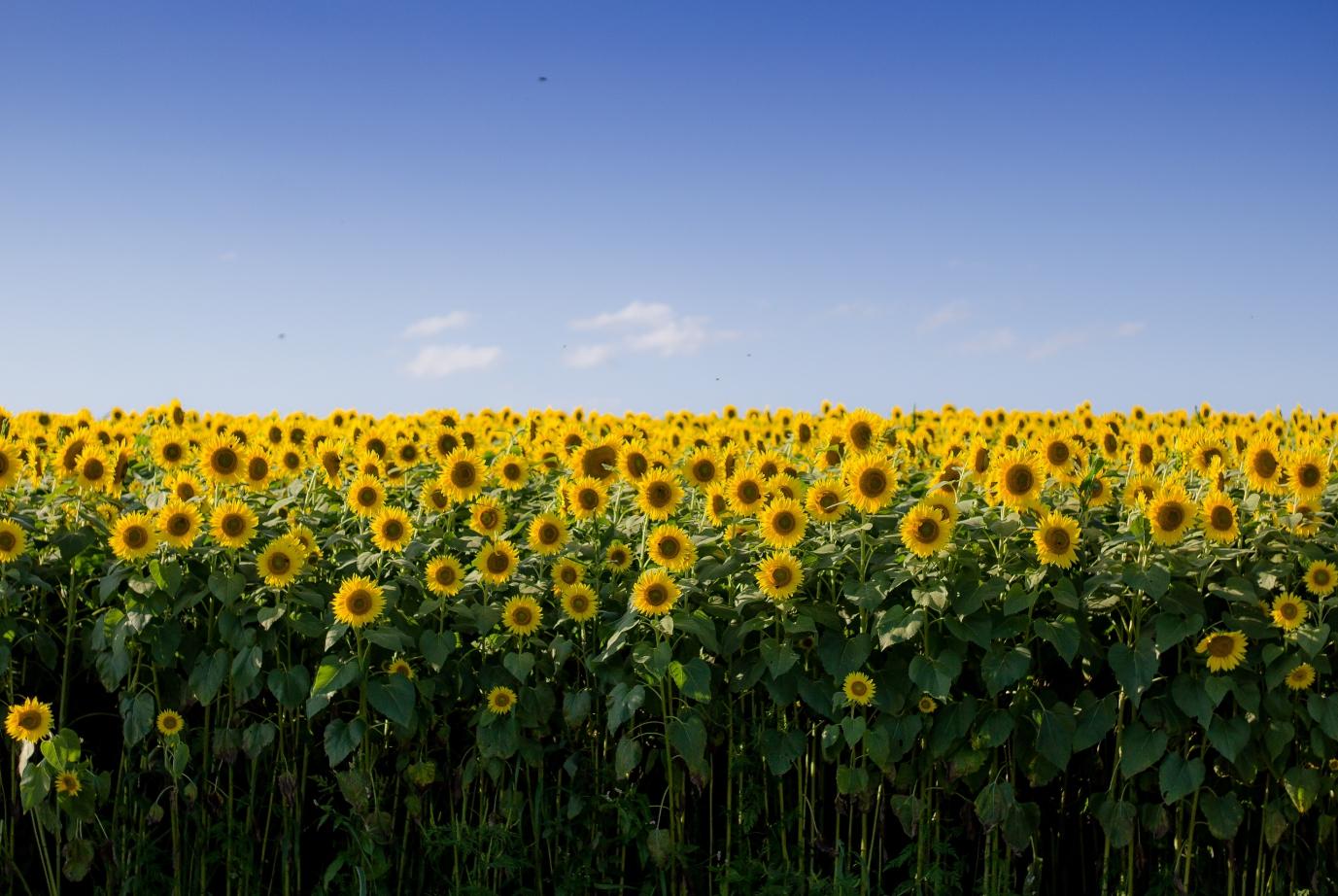 """夏の風物詩""""ひまわり畑""""へ行こう♪"""